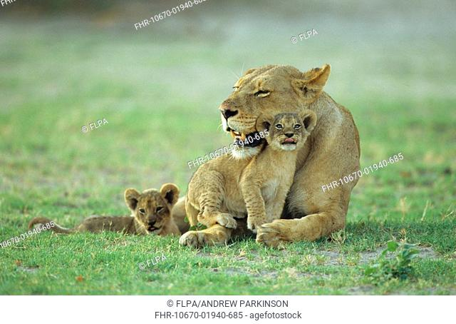 Lion Panthera leo female resting with two young cubs clamouring for attention, Chobe N P , Botswana