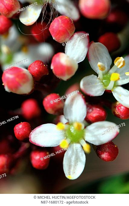 Skimia japonica flowers and flower buds