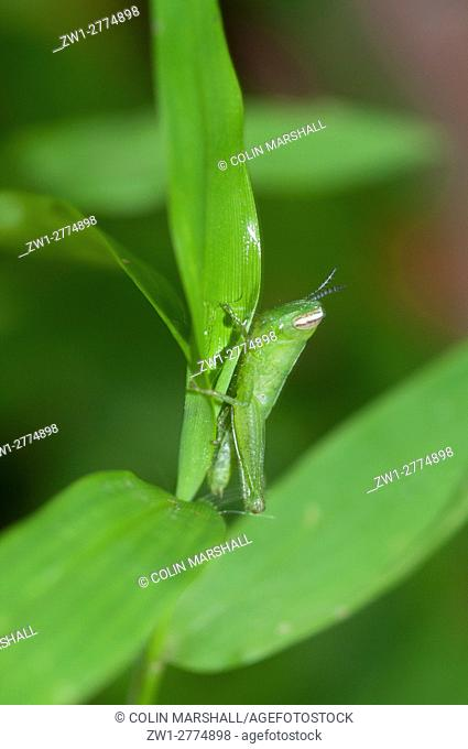 Grasshopper (Orthoptera order, Caelifera sub-order), camouflaged and feeding on leaf, Klungkung, Bali, Indonesia