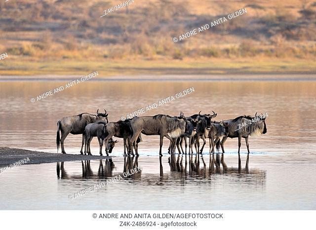 Wildebeest (Connochaetes taurinus), gnu, herd standing in water and reflected in water, Ndutu lake, Serengeti national park, Tanzania