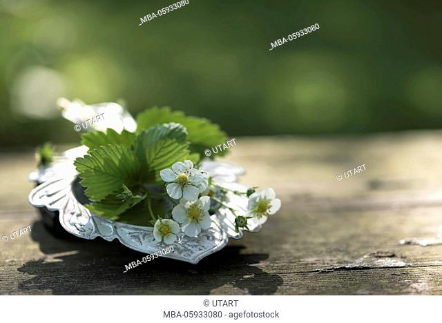 Old tea trunker with bunch of strawberry blossoms on an old wooden bench, still life