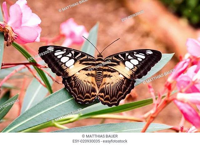 Brauner Segler - 01 - Parthenos sylvia brown - 2013-08