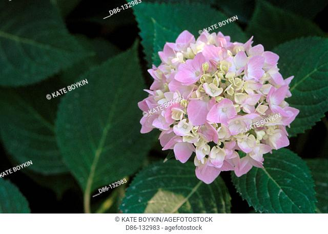 Bigleaf Hydrangea (Hydrangea macrophylla-single)