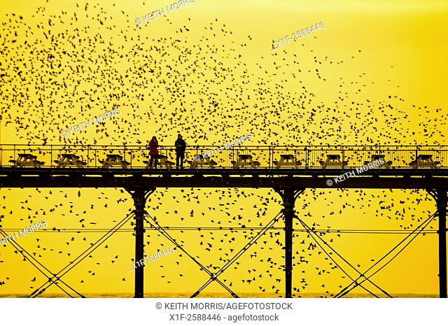 "Aberystwyth Wales UK, Friday 6 March 2015. . At the end of a day of warm spring sunshine, birdwatchers get up close and personal as a """"murmuration""""of..."