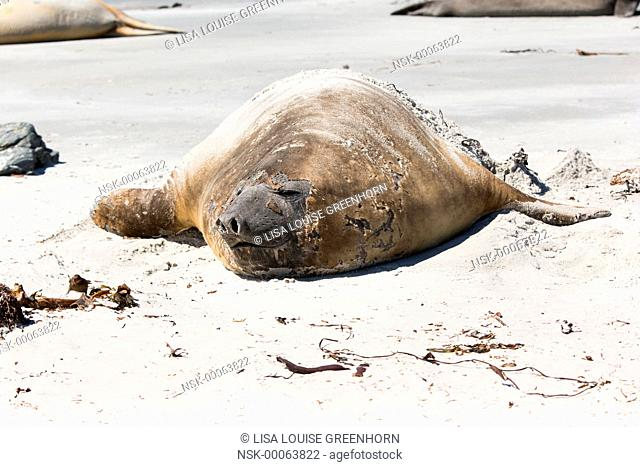 Elephant Seal (Mirounga leonina) adult moulting and resting on a beach, Falkland Islands, Sea Lion Island
