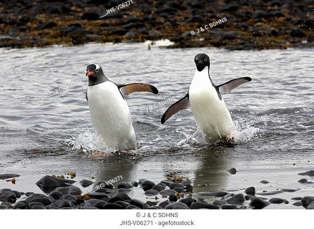 Gentoo Penguin, (Pygoscelis papua), Adelie Penguin, (Pygoscelis adeliae), Antarctica, Half Moon Island, adults walking out of water