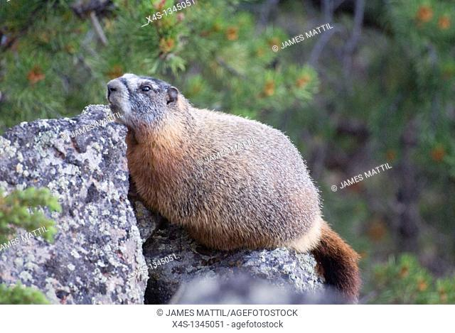 A Yellow-bellied Marmot poses atop a high cliff in Yellowstone Park