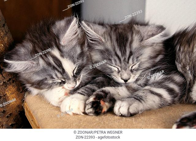 Maine-Coon-Katzen, Jungtiere, schlafend / Maine Coon Cats, kittens, sleeping