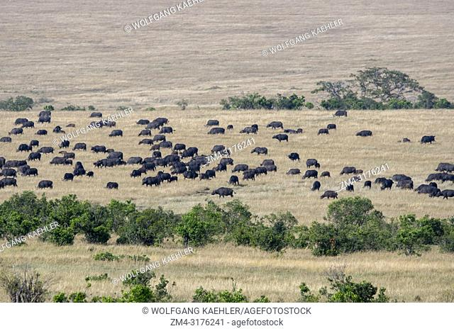 A herd of Cape buffalos (Syncerus caffer) in the grassland of the Masai Mara National Reserve in Kenya