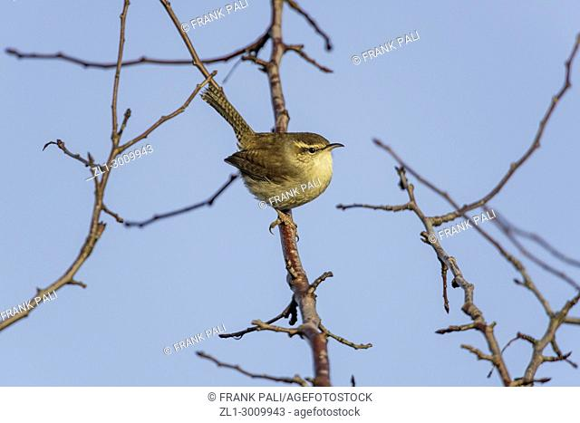 The wren is a family (Troglodytidae) of small, mainly brown, insectivorous songbirds, characterized by chunky bodies, tails that are often erect