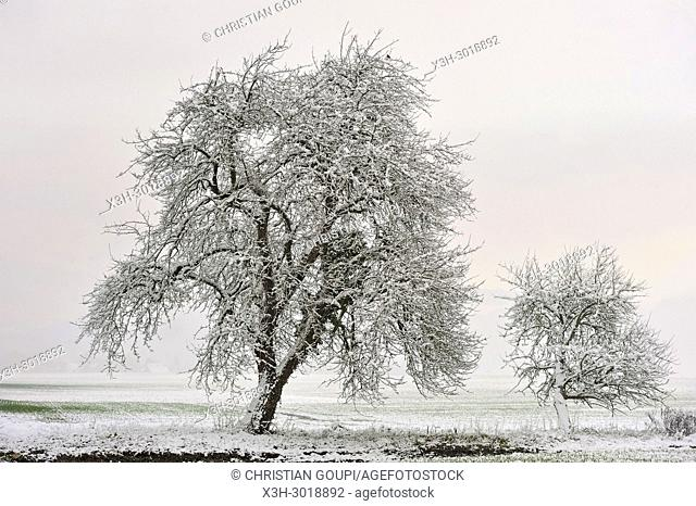 covered with snow apple trees, department of Eure-et-Loir, Centre-Val-de-Loire region, France, Europe