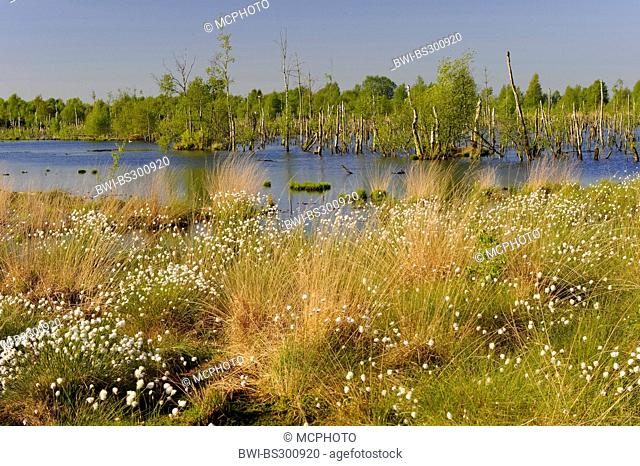 cotton-grass (Eriophorum spec.), view over the renaturated Goldenstedter Moor with birches dying back, Germany, Lower Saxony, Goldenstedter Moor