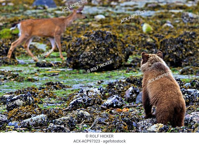 Coastal Grizzly bear cub looking at passing deer, at low tide on the British Columbia Mainland, Canada