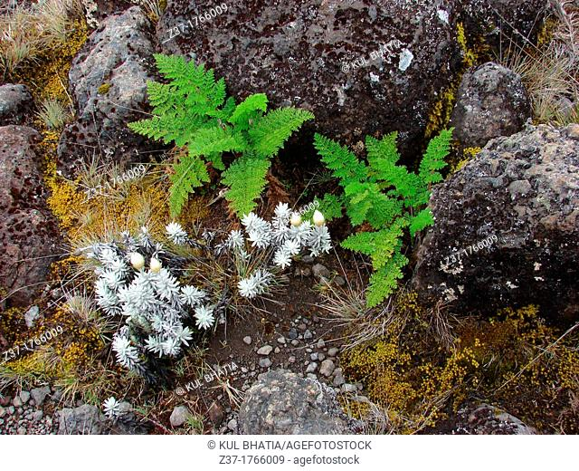 Ferns and heather growing in volcanic rock and soil, at about 3500 meters, Kilimanjaro National Park, Tanzania