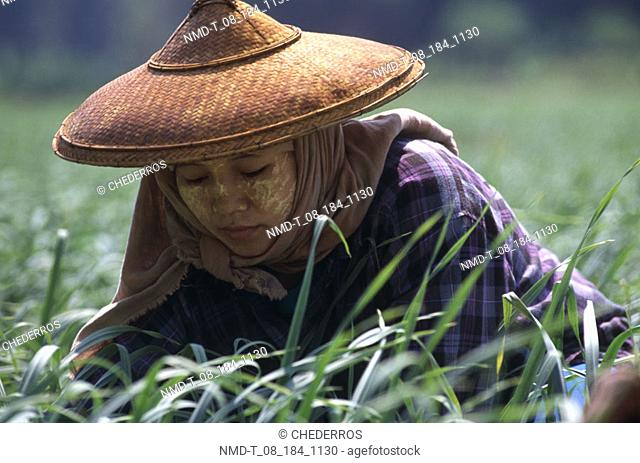 Close-up of a young woman harvesting in a rice field, Thailand