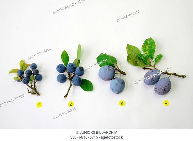 Prunus varieties. No. 1 Blackthorn (Prunus spinosa), No. 2 Bullace Plum, Damson Plum (Prunus domestica ssp. Insititia, Prunus insititia), No
