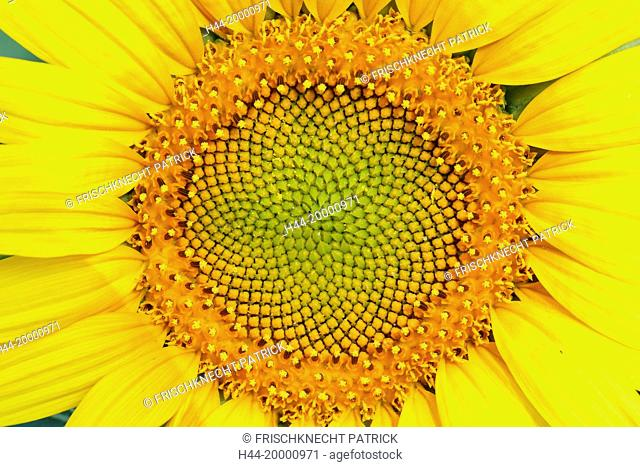 Sunflower, Helianthus annuus, Switzerland