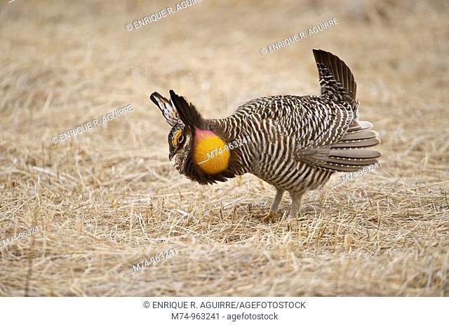 Greater Prairie Chicken Tympanuchus cupido pinnatus, Bluestem prairie reserve, Minnesota, USA