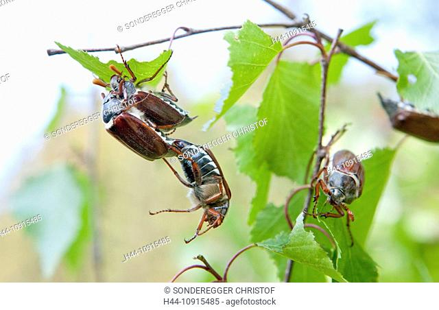 Flower, flowers, animals, animal, cockchafer, maybug, insects, beetles, birch