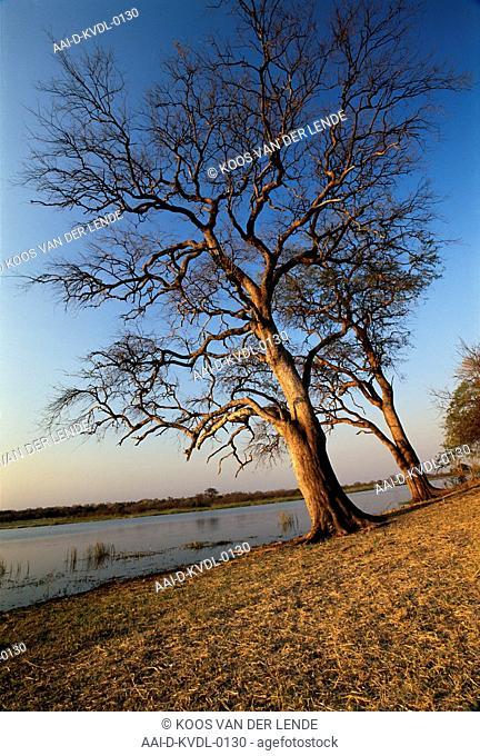 Leadwood tree, Combretum Imberbe, Kwando River, Namibia