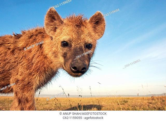 Spotted hyena (Crocuta crocuta) adolescent approaching with curiosity -wide angle perspective-, Maasai Mara National Reserve, Kenya