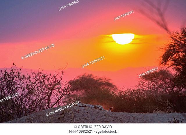 cheetah in Tarangire national park at sunset