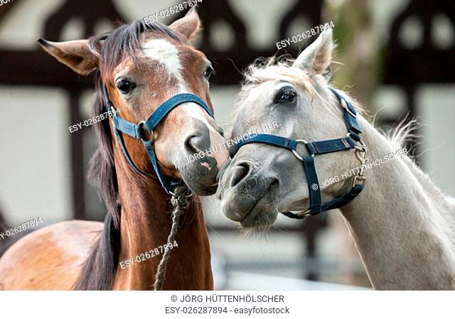 brown and white horse in love
