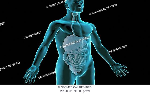 An animation of the digestive system. The camera zooms in showing its position relative to the surface anatomy of the body