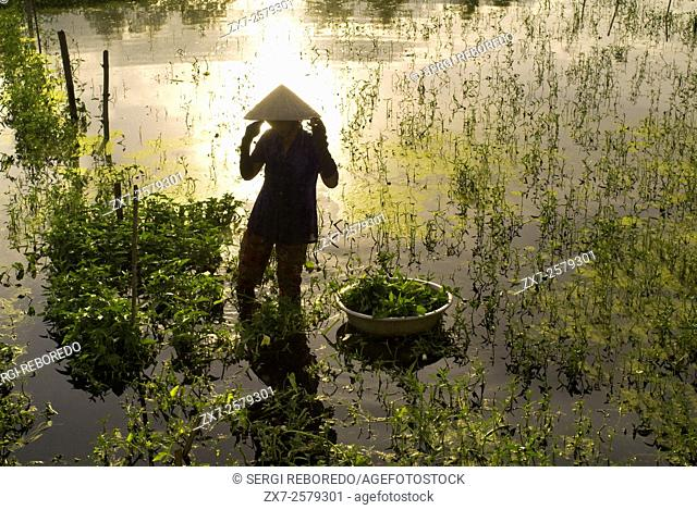 Women tending fields. Hoi An, Vietnam. Vietnam, Quang Nam province, around Hoi An, Rice fields