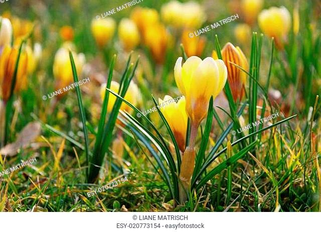 Krokus gelb - Crocus yellow 01