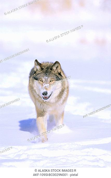 Wolf Walking in Snow Winter
