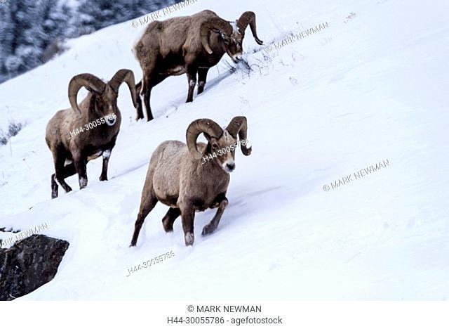 Bighorn sheep in Yellowstone National Park