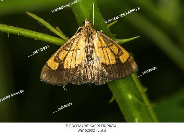 Evergestis limbata is sitting on a leaf
