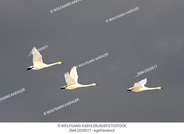 JAPAN, HOKKAIDO ISLAND, NEAR TSURUI VILLAGE, WHOOPER SWANS (Cygnus cygnus) IN FLIGHT
