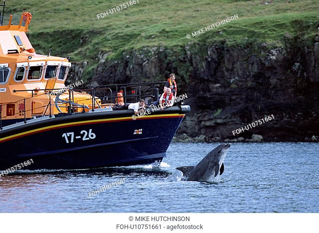 Bottlenose dolphin Tursiops truncatus truncatus leaping from under the bow of an RNLI boat, closely watched by the off duty crew. Image is 1 of 2