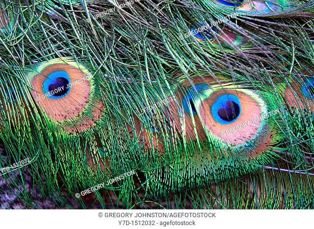 Close up of peacock feathers form two eyes