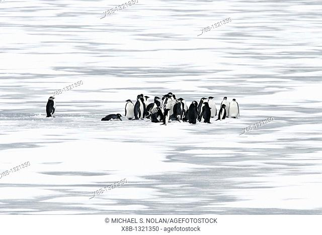 Young Emperor penguins Aptenodytes forsteri on fresh sea ice from a recently discovered November 2005 colony on Snow Hill Island in the Weddell Sea  This may be...
