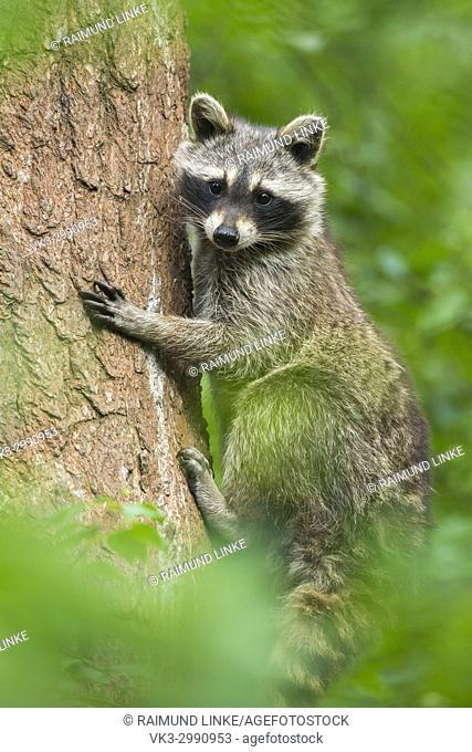 Raccoon, Procyon lotor, Climbing on Tree