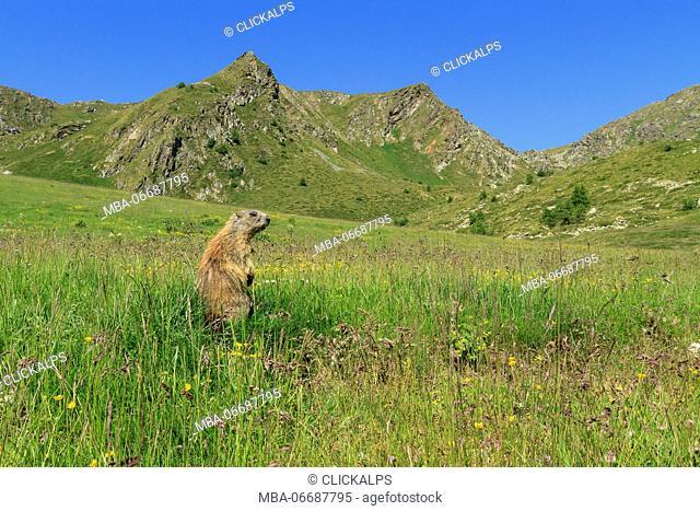 Stelvio National Park, Lombardy, Italy. Alpine marmot
