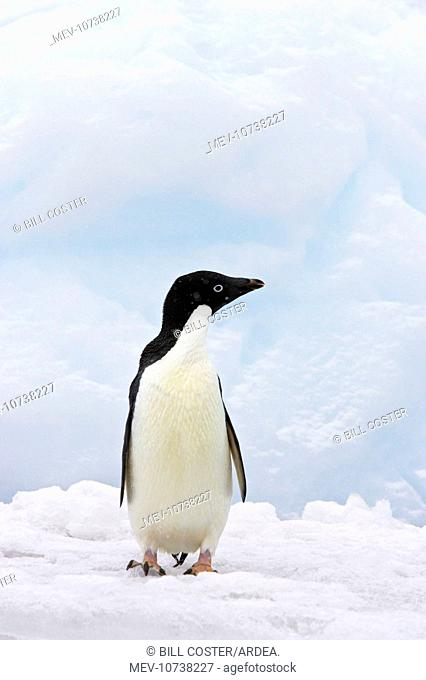 Adelie Penguin - on iceberg whilst snowing (Pygoscelis adeliae)