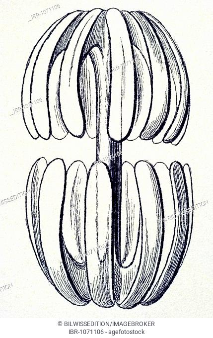 Historical illustration, Hexactinellid Sponge, Glass Sponge, Farrea, Stylocalyx tenera, Amphidiscus, silicic rod form, Plate 35 from Ernst Haeckel's Kunstformen...