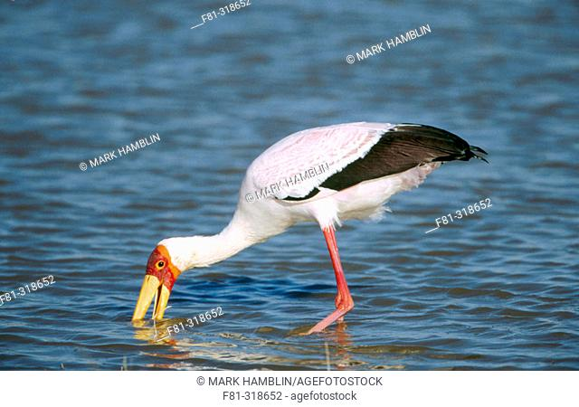 Yellow-billed Stork (Mycteria ibis). Adult feeding. Botswana. Africa