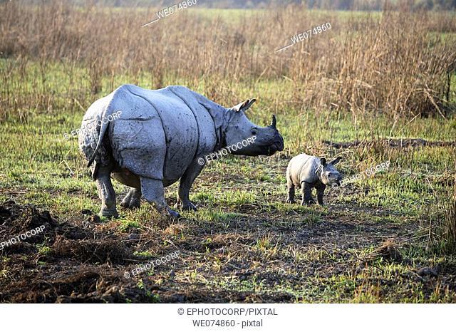 Female one Horned Rhino, Rhinoceros unicornis, with Fifteen days youngone at Kaziranga National Park, Assam, India