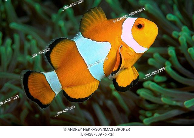 Ocellaris clownfish, false percula clownfish or common clownfish (Amphiprion ocellaris), South China Sea, Pulau Redang Island, Malaysia