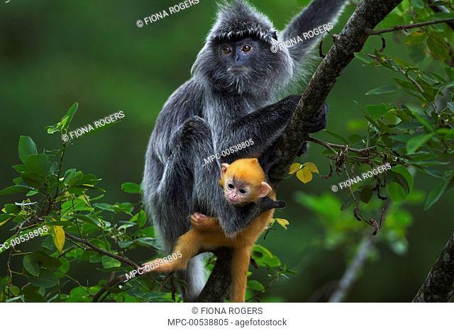 Silvered Leaf Monkey (Trachypithecus cristatus) mother with week old baby in tree, Bako National Park, Sarawak, Borneo, Malaysia