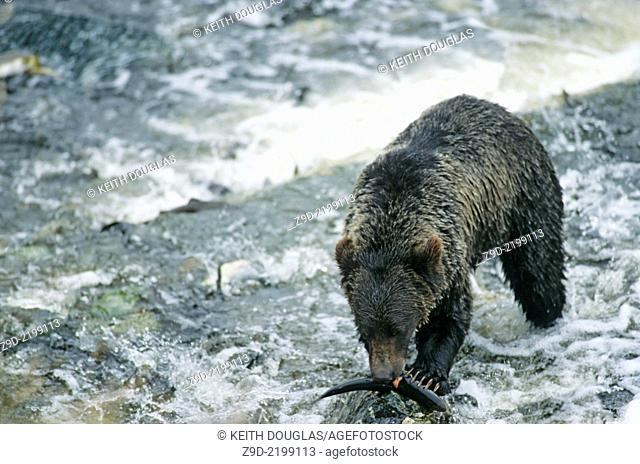 Grizzly bear eating pink salmon, Glendale river, Knight Inlet, British Columbia
