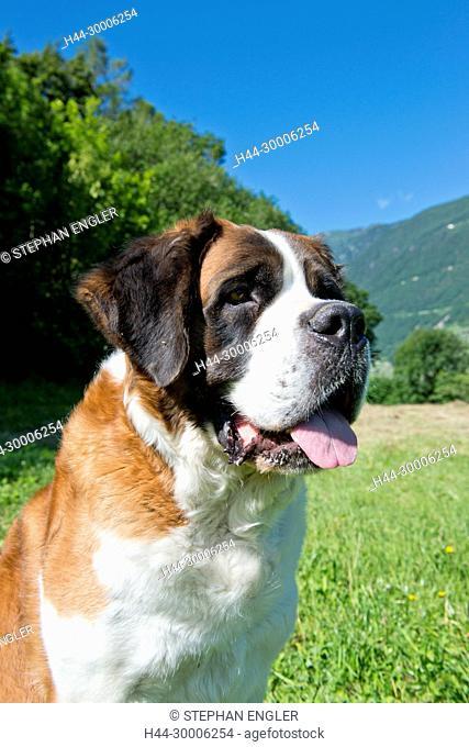 Switzerland, Valais, Martigny, Saint-Bernard , Barry dogs