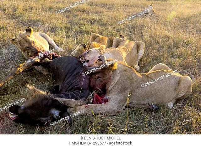 Kenya, Masai Mara national reserve, lion (Panthera leo), eating a wildebeest