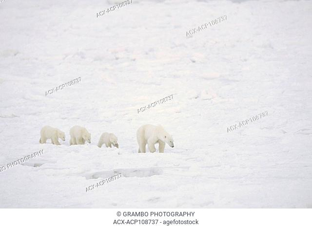 Polar Bear mother with three cubs Ursus maritimus, walk on nearshore ice near Churchill, Manitoba Canada