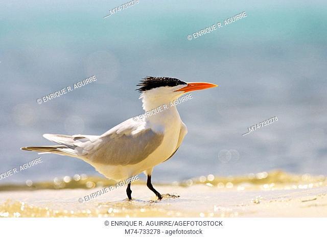 Royal Tern Sterna maxima on beach